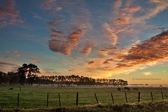 pink winter sunrise over pasture with rising mist and silhouette of grazing cows, rural Wairarapa (hueymilunz) Tags: nz newzealandtransition newzealand wairarapa sunrise landscape farm rural sky clouds pink blue green winter