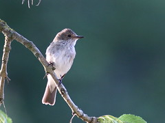 Spotted Flycatcher in Tree (717Images) Tags: bird nature wildlife spotted flycatcher british spottedflycatcher yorkshire dales