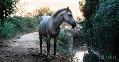 Caballo del Cerro (Club Vortex) Tags: canon chile canont5 chilean wild wildlife world animal animales horse snake caballo culebra q quillota quintaregion lim limache life