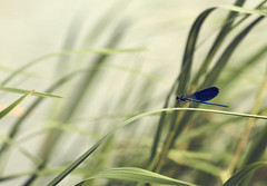Like a leaf in the wind (GlebLv) Tags: a6000 sony sigma105f28exdgmacro dragonfly sedge wind nature river don riverside 7dwf smileonsaturday uniflona