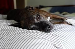 Annie (davekrovetz) Tags: leica leicat pittie dogs pets summicron pitbull