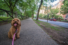 My Little Explorer (tquist24) Tags: cavapoo connecticut newhaven newhavengreen nikon nikond5300 sicily city cute dog fence geotagged leash parkingmeter sidewalk street tree trees unitedstates
