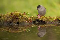 CURRUCA CAPIROTADA (Carlos Cifuentes) Tags: currucacapirotada sylviaatricapilla papuxadasamoras blackcap carloscifuentes wildlife nature natural wildlifenature bird birds