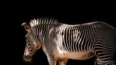2018-08-06 112006 (Schabing) Tags: zooaugsburg olympusmzuikodigital75300mmf4867ii 2018 zooparks zebra jahre tiere zielfoto