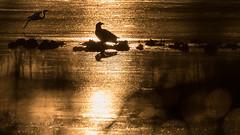 Fernsehadler (IIIfbIII) Tags: sunlight eagle adler heron egret reiher sonnenaufgang anklamerstadtbruch bird birdphotography naturephotography nature animalphotography animal mv mecklenburgvorpommern vorpommern canon silhouettes art gegenlicht