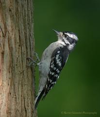 Downy Woodpecker (Kevin James54) Tags: lakegalena nikond850 peacevalleypark tamron150600mm animals avian bird downywoodpecker kevingianniniphotocom picoidespubescens woodpecker