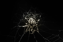 The Dark Web (_Lionel_08) Tags: spider dark scary creepy web black white nature wildlife insect bug