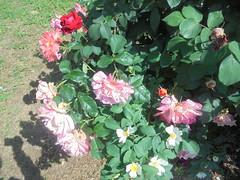 374 (en-ri) Tags: rose roses rosa giallo rosso verde foglie leaves sony soysti cespuglio bush