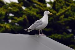 Herring Gull 3 (earlsy1) Tags: bird seaside tent camping devon croyde bay uk england coast beach seagull herring gull
