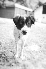Angeliki (Sven Evertz) Tags: httpsdeutschgriechischertierschutzvereinde hunde mischlingshunde bw schwarzweiss sonya7iii sony2820