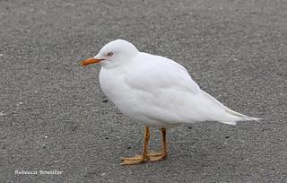 A Leucistic juvenile Red-Billed Gull