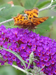 Comma on the Buddleia (John Clift) Tags: warwickshire wildlife butterflies