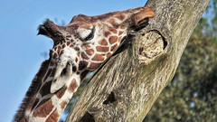 The Itch (richiedrisc) Tags: tree colour giraffe nature wildlife