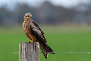 Black Kite : Milvus migrans