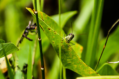 Peek-a-Boo (_Lionel_08) Tags: grass hopper grasshopper nature animal insect swamp louisiana green wild wildlife bugs