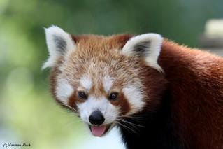 Petit panda_PONG