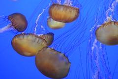 Kompassqualle (ivlys) Tags: california monterey montereybayaquarium qualle jellyfish tier animal natur nature wasser water kompassqualle seanettle chrysaorafuscescens makro macro ivlys