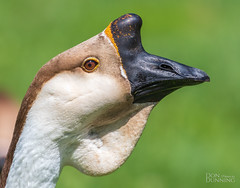African Goose (Anser anser domesticus) (Don Dunning) Tags: africangoose animals anseranserdomesticus birds california canon7dmarkii canonef100400mmisiiusm elkgrove elkgroveregionalpark goose unitedstates