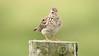 Skylark- (Mick Lowe) Tags: post skylark backround alauda arvensis