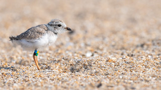 Piping Plover   2018 - 39