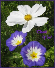 Thanks !! (TonyFernando) Tags: cosmos petuniatricolor flower macro garden outdoors thanks