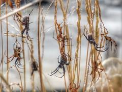 A Golden Field (reflection below) (Robert Cowlishaw (Mertonian)) Tags: orb spiders exploring naturewalk birdfeed greatsaltlake field markiii g1x powershot canon goldengrass canonpowershotg1xmarkiii robertcowlishaw mertonian orbseason2018