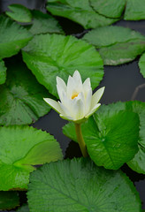 White waterlily flower blossom (phuong.sg@gmail.com) Tags: aquatic asia background beautiful beauty bloom blooming blossom botany buddha closeup dark exotic flora floral flower garden green grey lake leaf leaves lily lotus natural nature orchid oriental park petal pink plant pollen pond purple religion summer surface swamp top tropical view water watercolor watering waterlily waterplant wet white yellow