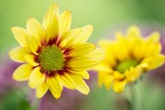 chrysanthemum 2259 (junjiaoyama) Tags: japan flower chrysanthemum mum plant yellow summer bokeh macro