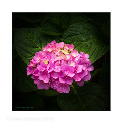Pink Hydrangea after rain.jpg (tomh2m) Tags: hydrangeas hydrangea nature pink plant summer green garden blossom beauty beautiful gardening closeup perennial flowerbed vibrant vivid foliage outdoors vegetation summertime decorative pinkhydrangeas harmony naturalbeauty