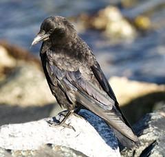 Northwestern Crow (richmondbrian) Tags: dncb 201829 tsawwassen reifel
