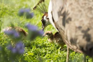 Peahen with chicks. Kuikens van de pauwenfamilie.