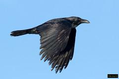 Australian Raven (Corvus coronoides coronoides) (Dave 2x) Tags: corvuscoronoidescoronoides corvuscoronoides corvus australianraven australian raven centennialpark sydney nsw australia inflight leastconcern corvid