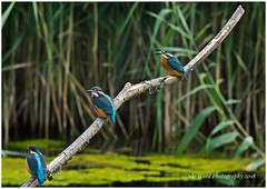 Threes a crowd (awardphotography73) Tags: beautiful colours wales cardiff forestfarm naturereserve nature summer animal wildbird kingfishers kingfisher