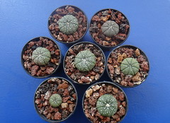 Astrophytum asterias, 2.5 years from seed (armen.cactus) Tags: cactus succulent seedlings astrophytum asterias