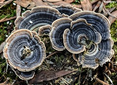 Shapes renewed (Mauro Hilário) Tags: mushroom fungi blue nature portugal beautiful earth shapes levels dof depth field color moss circles nikon