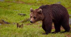 Clarity (Spectacle Photography) Tags: bear bearphotography bearcubs bearcub summer summertime brownbear grizzly grizzlybear ursusarctos ursusarctosarctos finland europe wildlife wildlifewatching hidephotography nikon nikond850