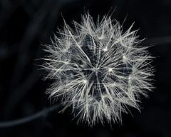 Dandelion (martincarlisle) Tags: dandelion westvancouver britishcolumbia canada seeds flowers plants taraxacum closeup blackandwhite monochrome captureonepro11 tkactions
