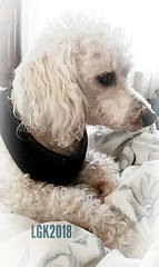 Our Benjy the Poodle (Peachhead (5,000,000 views!)) Tags: benjy pet family love dog poodle miniaturepoodle perro cane caniche hund chien hond