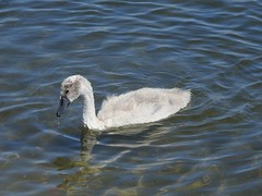 Cygnet (Simply Sharon !) Tags: cygnet muteswan swan bird wildlife britishwildlife babyanimals nature thryberghcountrypark july