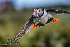 Sand eel delivery ...4331 (George Vittman) Tags: bird puffin ocean sea fish flight nikonpassion wildlifephotography jav61photography jav61 fantasticnature