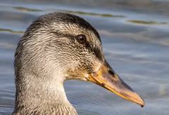 Duck, close up (stevenbolton) Tags: parkrapids minnesota unitedstates us nikon d5600 nikkor 200500 mm f56e ed vr