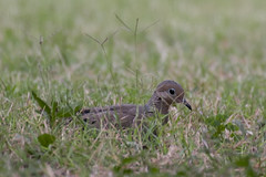 Imperfect hiding spot:  Dove in the grass (Peeb is OK) Tags: dove bird birds nature wildlife fuji fujifilm nikon nikkor 200500