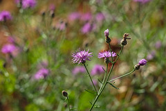 A purple haze (Moto Fotoe) Tags: greenisland hdpentaxda55300mmf4563edplmwrre hudsonriver newyork pentaxk3ii summer upstatenewyork darktable centaureamaculosa spottedknapweed