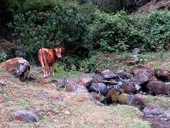 Un ternerito a la par del riachuelo/ A calf along the creek (vantcj1) Tags: vaca ternero animal bebé paisaje río riachuelo campo rural hierba agricultura vegetación bosque rocas piedras caminata