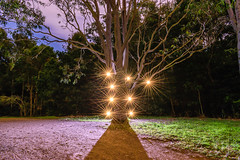 Enchanted Tree (stephenk1977) Tags: australia queensland qld brisbane nikon d3300 night light painting alderley banksstreetreserve tree forest wood woodland starbursts yongnuoyn360 review art photography