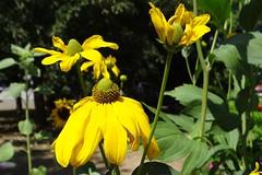 Sonnenhut (Gartenzauber) Tags: floralfantasy