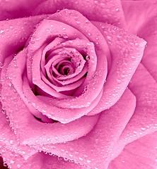 in the water droplets (majka44) Tags: rose pink mygarden drop droplet garden macroworld nice rain water light reflection