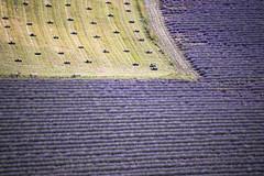 mélange provençal (Rafael Zenon Wagner) Tags: lavender fields lavendel felder nikon d810 200mm purple pink purpur rohre pipes tree baum dof grün green frankreich france provence