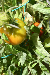 Tomatoes! 595 (Donna's View) Tags: nikon d3300 garden tomatoes tomatovines patio
