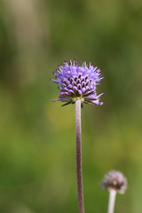 Scabious (Keith (foggybummer)) Tags: aberdeenshire fieldscabious naturereserve stcyrus coastal dunes grassland scottishnaturalheritage wildflower